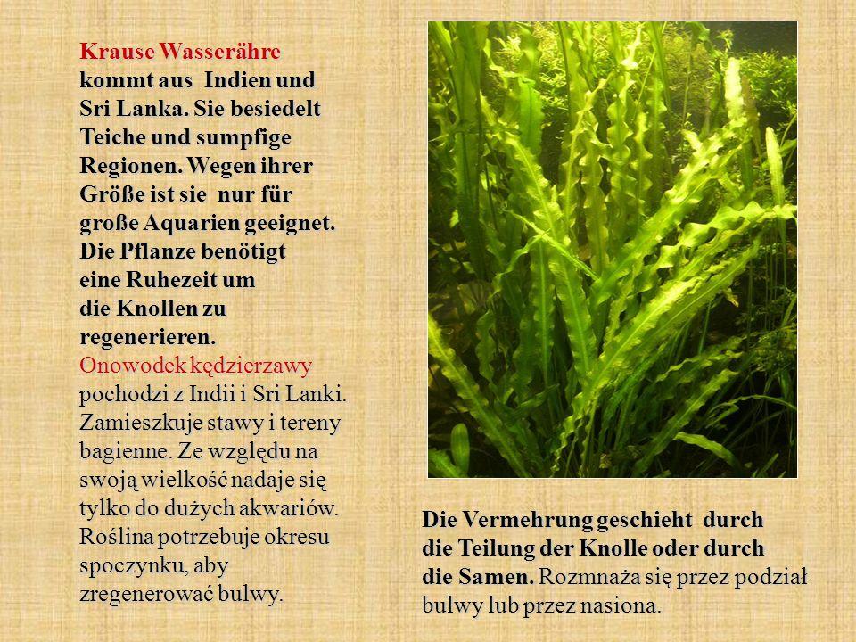 Krause Wasserähre kommt aus Indien und Sri Lanka. Sie besiedelt Teiche und sumpfige Regionen. Wegen ihrer Größe ist sie nur für große Aquarien geeigne
