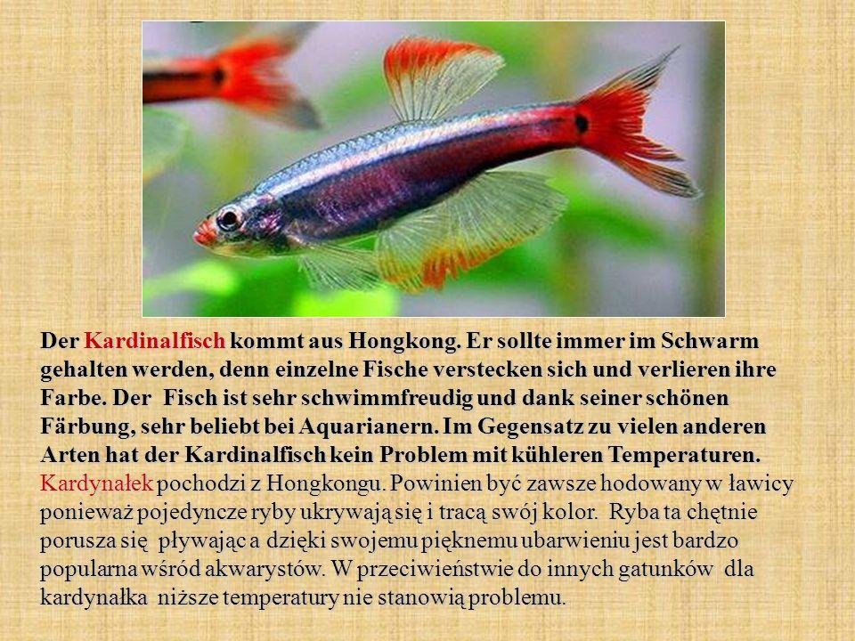 Der Kardinalfisch kommt aus Hongkong. Er sollte immer im Schwarm gehalten werden, denn einzelne Fische verstecken sich und verlieren ihre Farbe. Der F