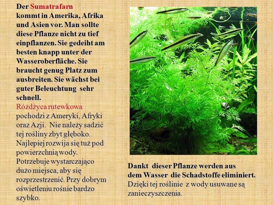 Der Sumatrafarn kommt in Amerika, Afrika und Asien vor. Man sollte diese Pflanze nicht zu tief einpflanzen. Sie gedeiht am besten knapp unter der Wass