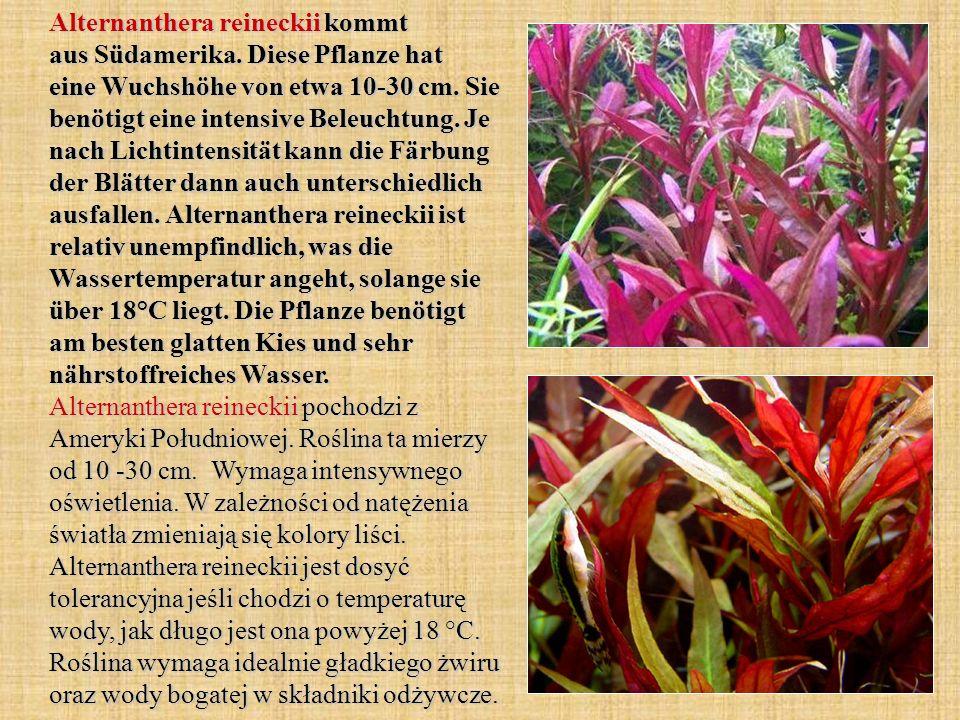 Alternanthera reineckii kommt aus Südamerika. Diese Pflanze hat eine Wuchshöhe von etwa 10-30 cm. Sie benötigt eine intensive Beleuchtung. Je nach Lic
