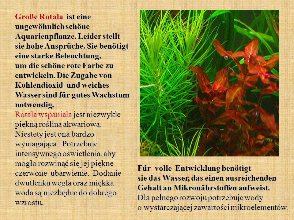 Große Rotala ist eine ungewöhnlich schöne Aquarienpflanze. Leider stellt sie hohe Ansprüche. Sie benötigt eine starke Beleuchtung, um die schöne rote