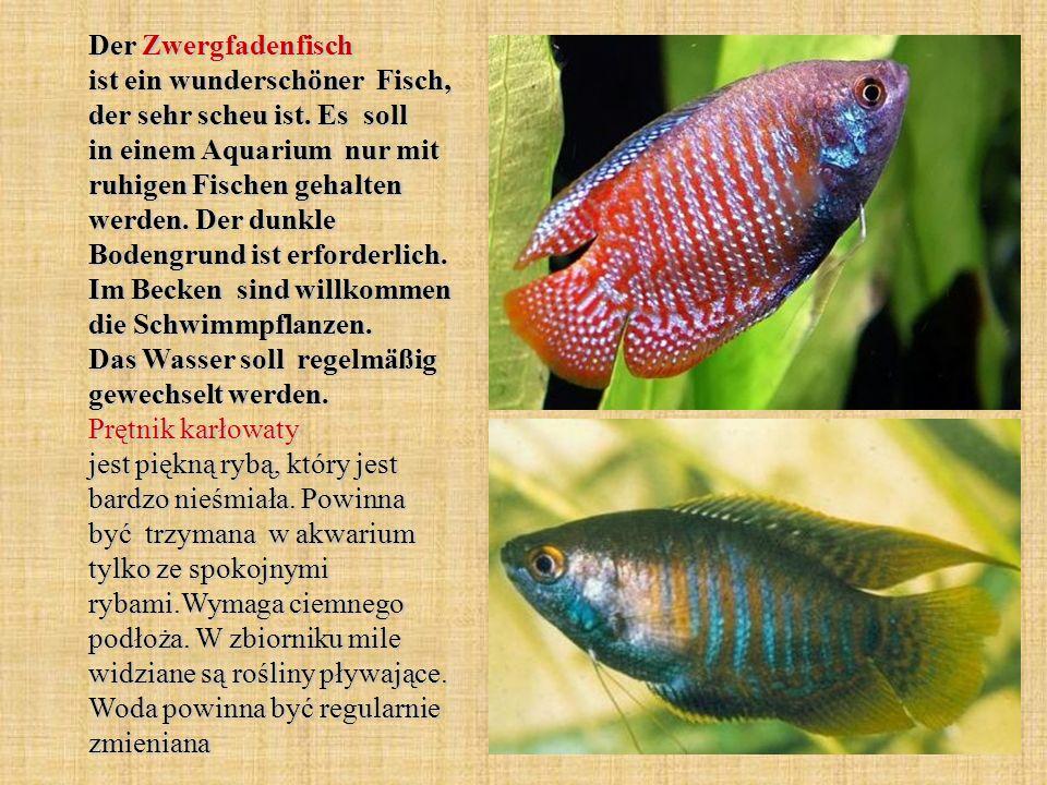 Der Zwergfadenfisch ist ein wunderschöner Fisch, der sehr scheu ist. Es soll in einem Aquarium nur mit ruhigen Fischen gehalten werden. Der dunkle Bod