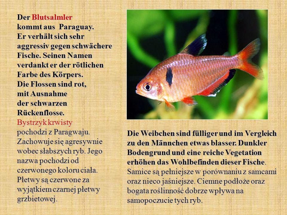 Der Blutsalmler kommt aus Paraguay. Er verhält sich sehr aggressiv gegen schwächere Fische. Seinen Namen verdankt er der rötlichen Farbe des Körpers.