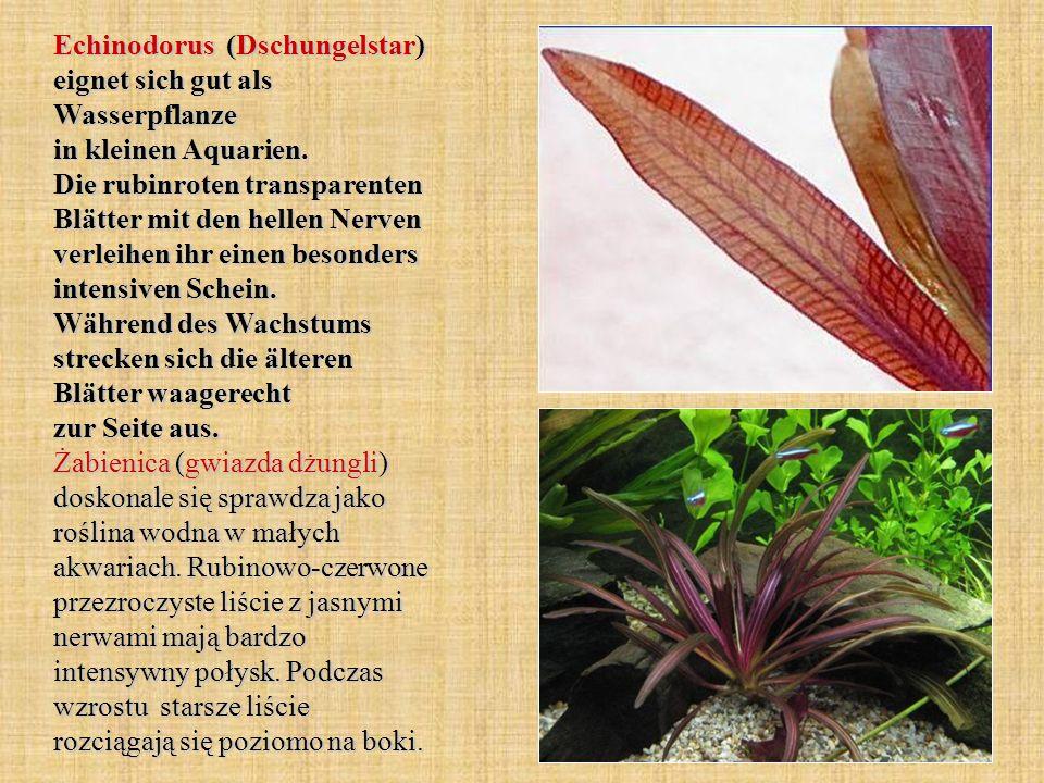 Echinodorus (Dschungelstar) eignet sich gut als Wasserpflanze in kleinen Aquarien. Die rubinroten transparenten Blätter mit den hellen Nerven verleihe