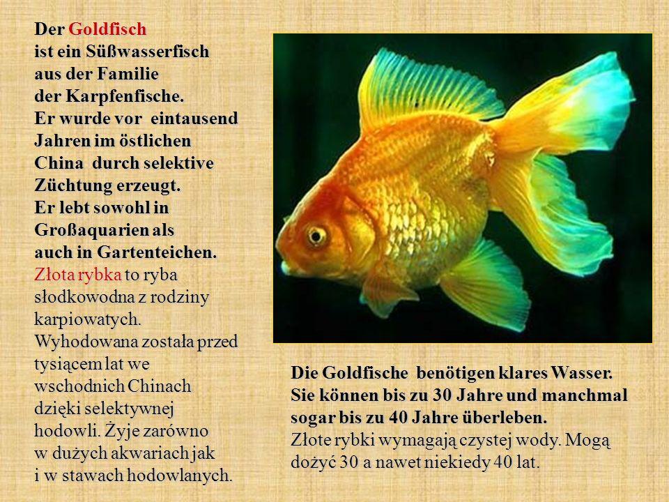 Der Goldfisch ist ein Süßwasserfisch aus der Familie der Karpfenfische. Er wurde vor eintausend Jahren im östlichen China durch selektive Züchtung erz