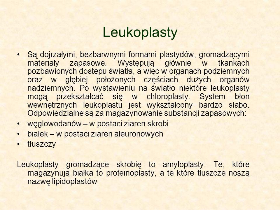 Leukoplasty Są dojrzałymi, bezbarwnymi formami plastydów, gromadzącymi materiały zapasowe. Występują głównie w tkankach pozbawionych dostępu światła,