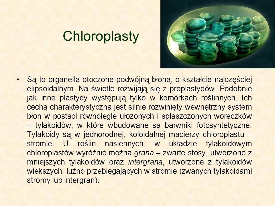 Chloroplasty Są to organella otoczone podwójną błoną, o kształcie najczęściej elipsoidalnym. Na świetle rozwijają się z proplastydów. Podobnie jak inn