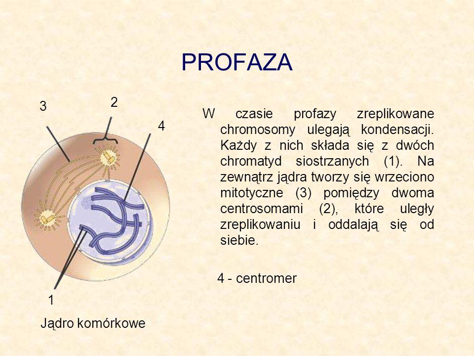 PROFAZA W czasie profazy zreplikowane chromosomy ulegają kondensacji. Każdy z nich składa się z dwóch chromatyd siostrzanych (1). Na zewnątrz jądra tw