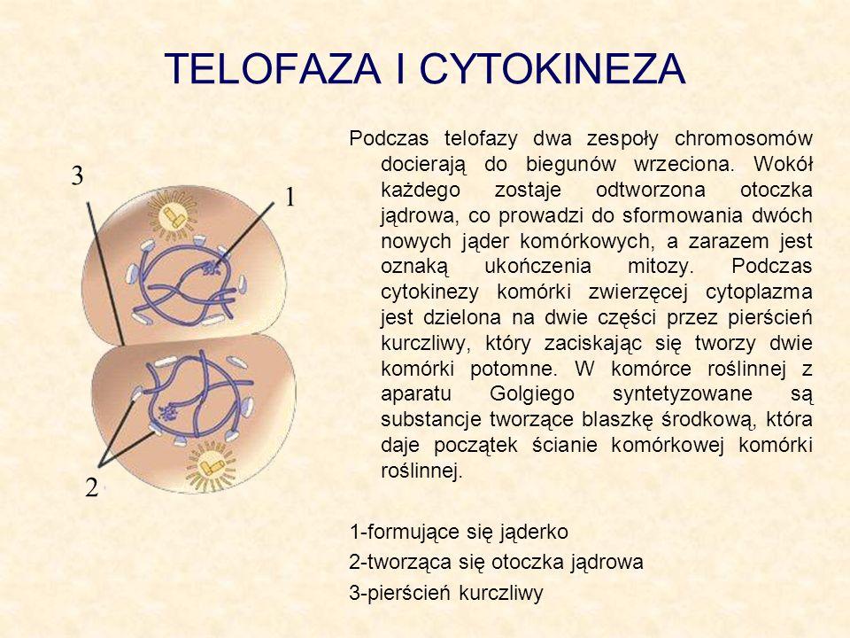 TELOFAZA I CYTOKINEZA Podczas telofazy dwa zespoły chromosomów docierają do biegunów wrzeciona. Wokół każdego zostaje odtworzona otoczka jądrowa, co p