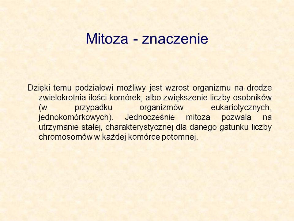 Mitoza - znaczenie Dzięki temu podziałowi możliwy jest wzrost organizmu na drodze zwielokrotnia ilości komórek, albo zwiększenie liczby osobników (w p