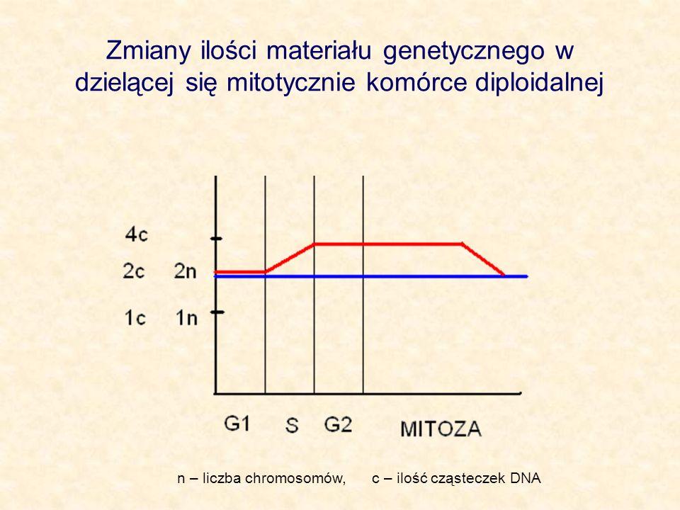 Zmiany ilości materiału genetycznego w dzielącej się mitotycznie komórce diploidalnej n – liczba chromosomów, c – ilość cząsteczek DNA