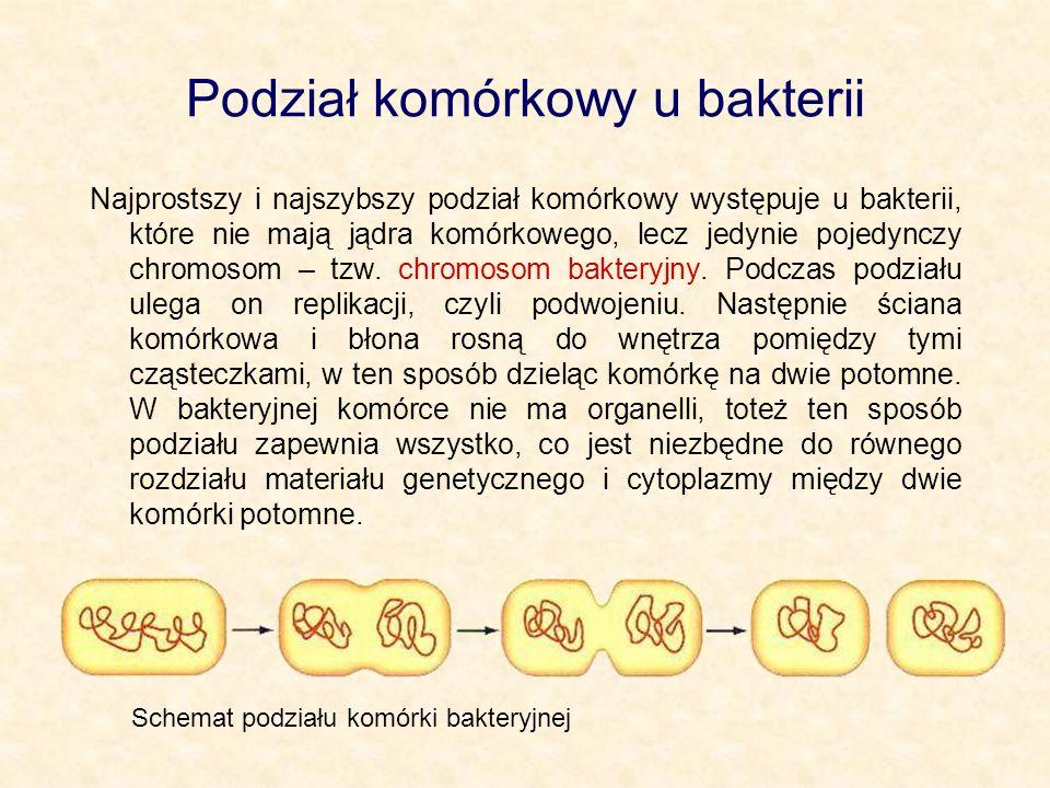 Podział komórkowy u bakterii Najprostszy i najszybszy podział komórkowy występuje u bakterii, które nie mają jądra komórkowego, lecz jedynie pojedyncz
