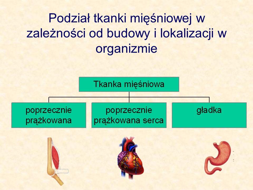 Tkanka mięśniowa Podstawową własnością tkanki mięśniowej jest jej zdolność do aktywnego kurczenia się.