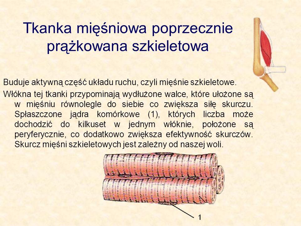 We włóknach mięśniowych układ filamentów cienkich i grubych jest bardzo regularny – zebrane są w pęczki, w których elementy zachodzą częściowo na siebie.