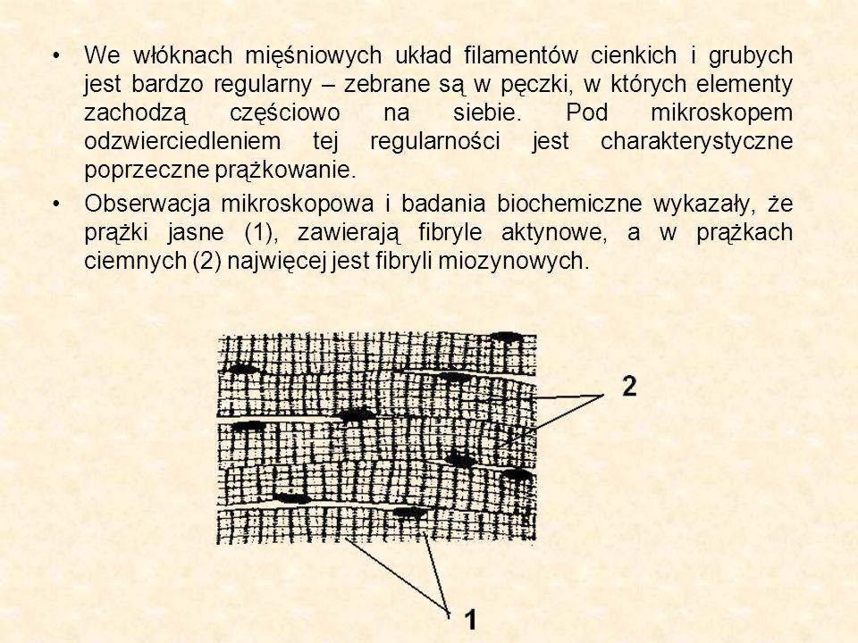 Tkanka mięśniowa poprzecznie prążkowana – obraz mikroskopowy