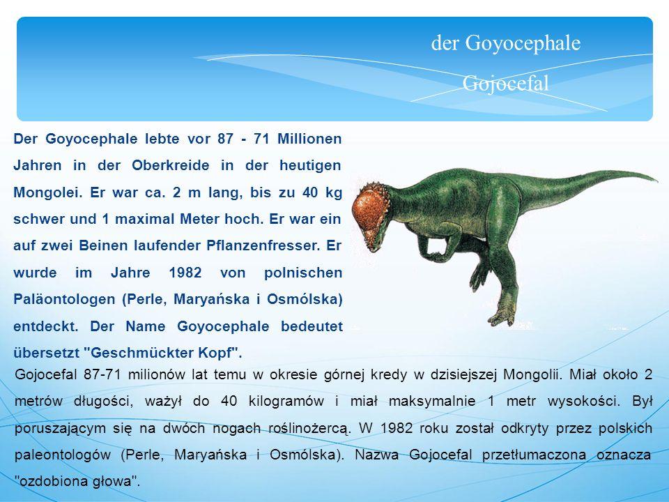 der Goyocephale Gojocefal Der Goyocephale lebte vor 87 - 71 Millionen Jahren in der Oberkreide in der heutigen Mongolei. Er war ca. 2 m lang, bis zu 4