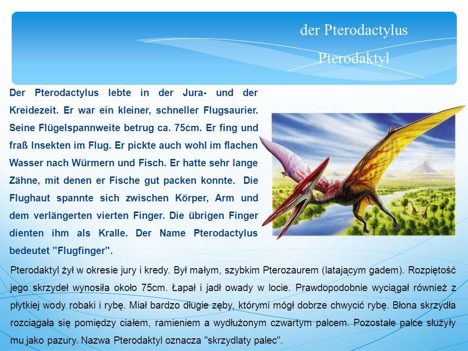 der Pterodactylus Pterodaktyl Der Pterodactylus lebte in der Jura- und der Kreidezeit. Er war ein kleiner, schneller Flugsaurier. Seine Flügelspannwei