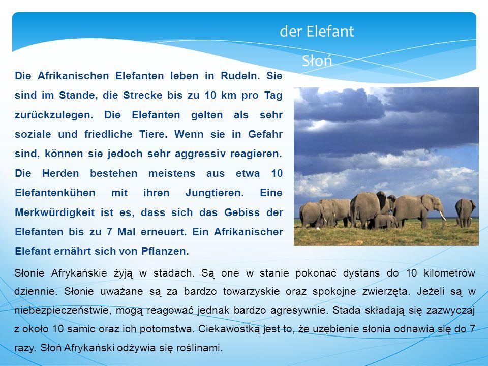 Die Afrikanischen Elefanten leben in Rudeln. Sie sind im Stande, die Strecke bis zu 10 km pro Tag zurückzulegen. Die Elefanten gelten als sehr soziale