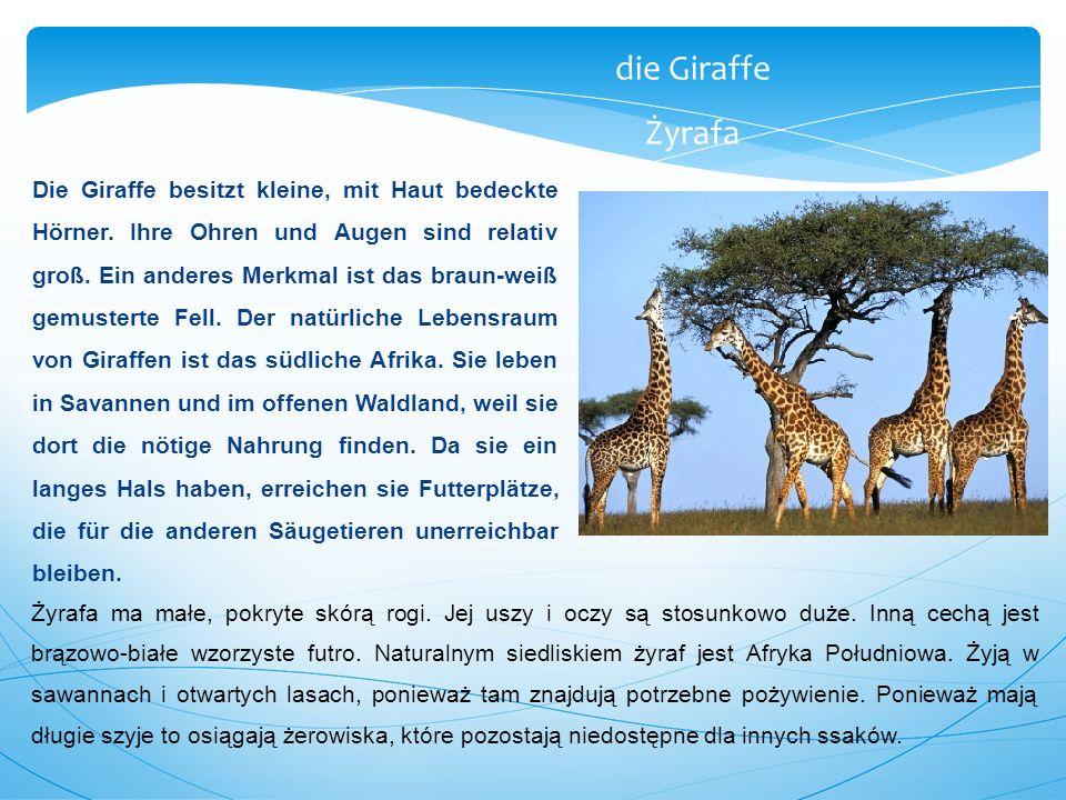 Die Giraffe besitzt kleine, mit Haut bedeckte Hörner. Ihre Ohren und Augen sind relativ groß. Ein anderes Merkmal ist das braun-weiß gemusterte Fell.