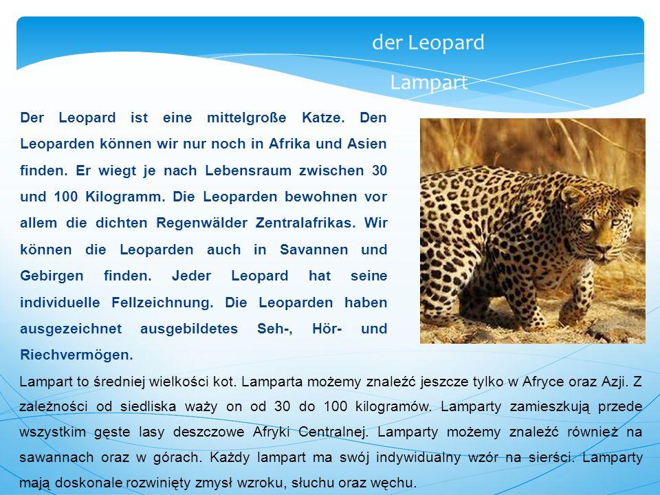 Der Leopard ist eine mittelgroße Katze. Den Leoparden können wir nur noch in Afrika und Asien finden. Er wiegt je nach Lebensraum zwischen 30 und 100