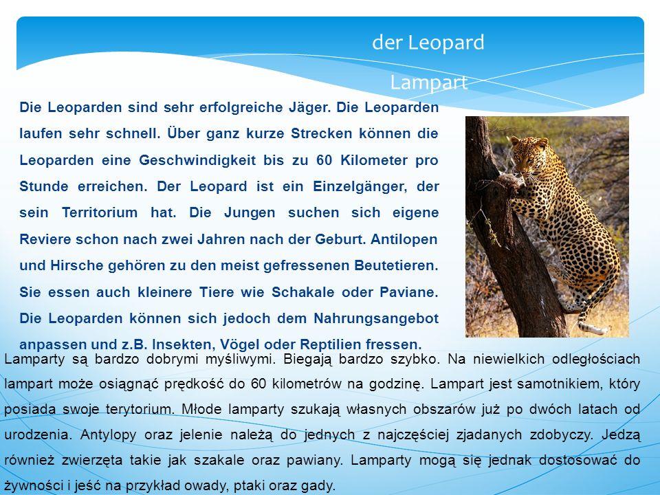 Die Leoparden sind sehr erfolgreiche Jäger. Die Leoparden laufen sehr schnell. Über ganz kurze Strecken können die Leoparden eine Geschwindigkeit bis