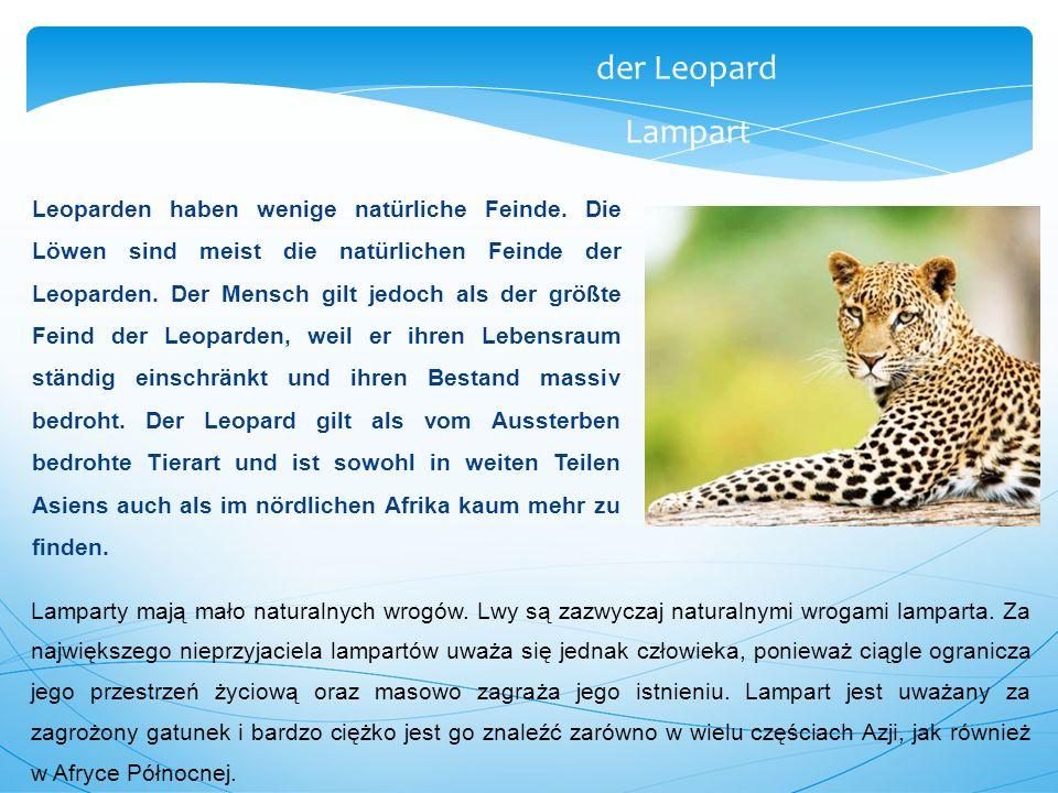 Leoparden haben wenige natürliche Feinde. Die Löwen sind meist die natürlichen Feinde der Leoparden. Der Mensch gilt jedoch als der größte Feind der L
