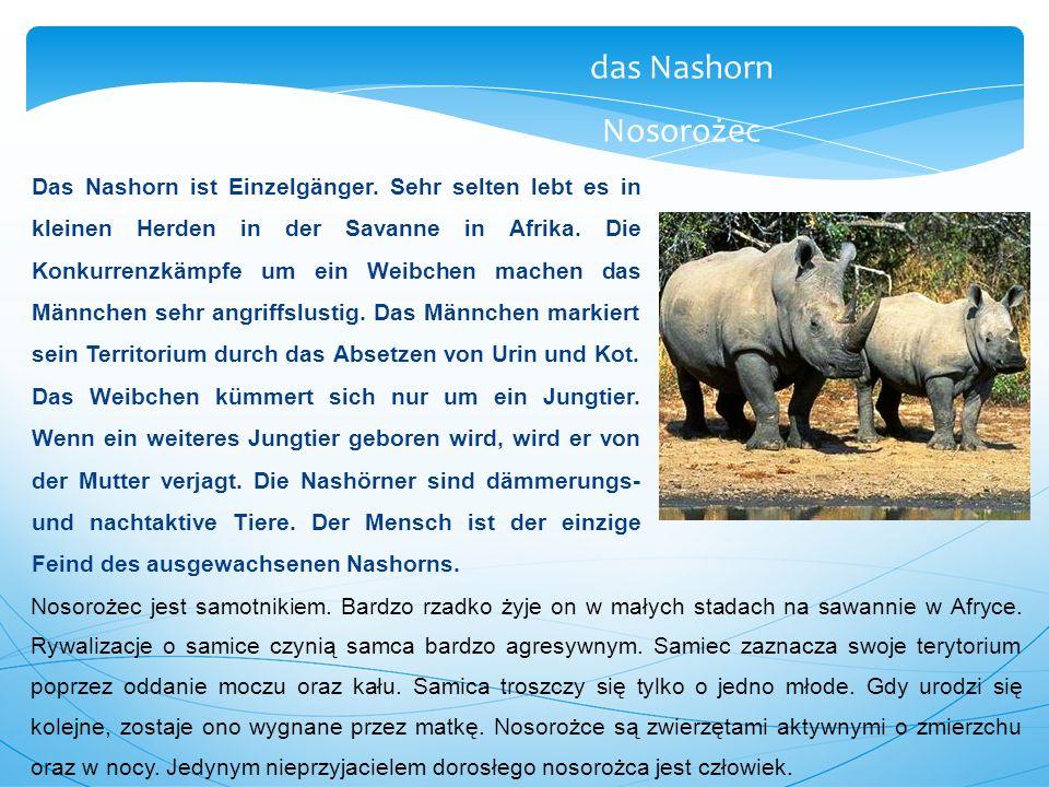 Das Nashorn ist Einzelgänger. Sehr selten lebt es in kleinen Herden in der Savanne in Afrika. Die Konkurrenzkämpfe um ein Weibchen machen das Männchen