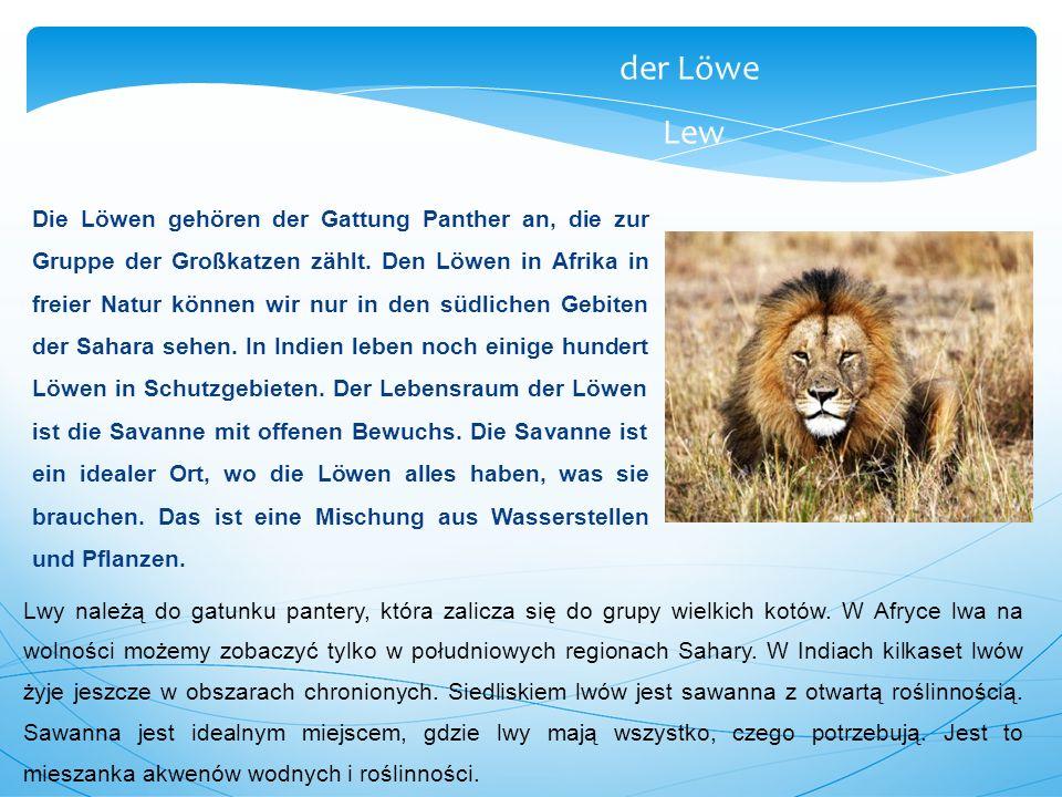 der Löwe Lew Die Löwen gehören der Gattung Panther an, die zur Gruppe der Großkatzen zählt. Den Löwen in Afrika in freier Natur können wir nur in den