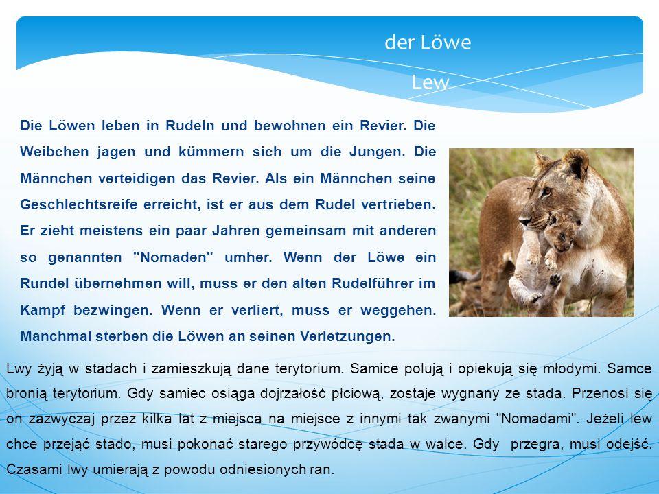 Die Löwen leben in Rudeln und bewohnen ein Revier. Die Weibchen jagen und kümmern sich um die Jungen. Die Männchen verteidigen das Revier. Als ein Män