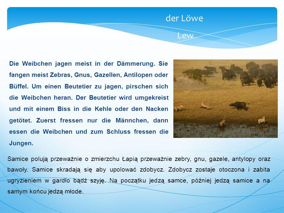 Die Weibchen jagen meist in der Dämmerung. Sie fangen meist Zebras, Gnus, Gazellen, Antilopen oder Büffel. Um einen Beutetier zu jagen, pirschen sich