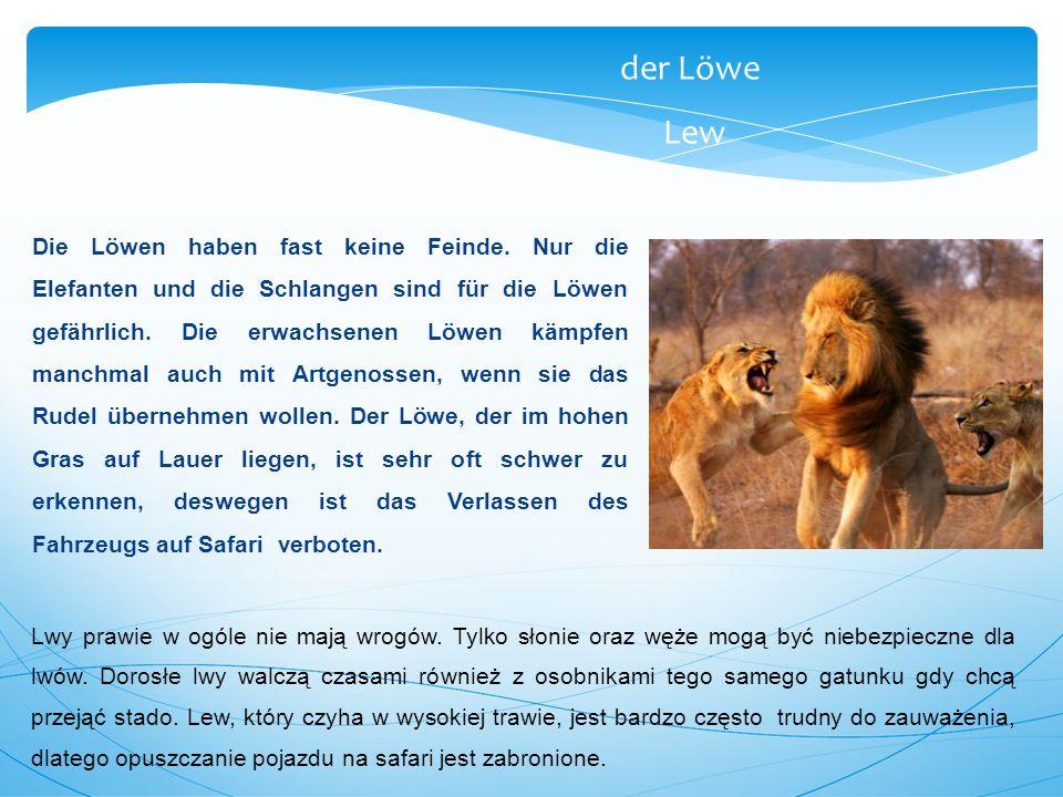 Die Löwen haben fast keine Feinde. Nur die Elefanten und die Schlangen sind für die Löwen gefährlich. Die erwachsenen Löwen kämpfen manchmal auch mit