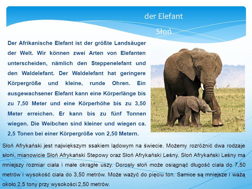 Der Afrikanische Elefant ist der größte Landsäuger der Welt. Wir können zwei Arten von Elefanten unterscheiden, nämlich den Steppenelefant und den Wal