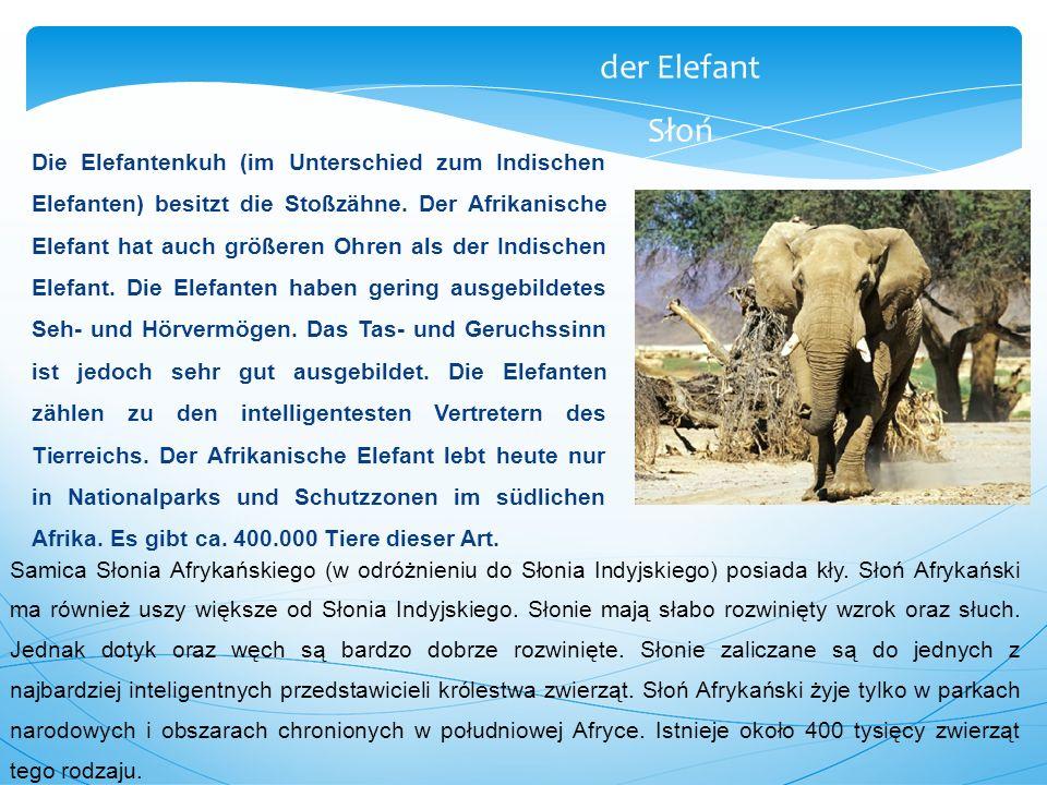 Die Elefantenkuh (im Unterschied zum Indischen Elefanten) besitzt die Stoßzähne. Der Afrikanische Elefant hat auch größeren Ohren als der Indischen El