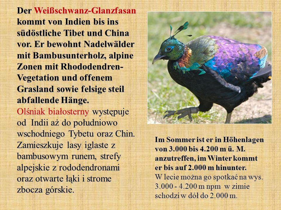 Der Weißschwanz-Glanzfasan kommt von Indien bis ins südöstliche Tibet und China vor. Er bewohnt Nadelwälder mit Bambusunterholz, alpine Zonen mit Rhod