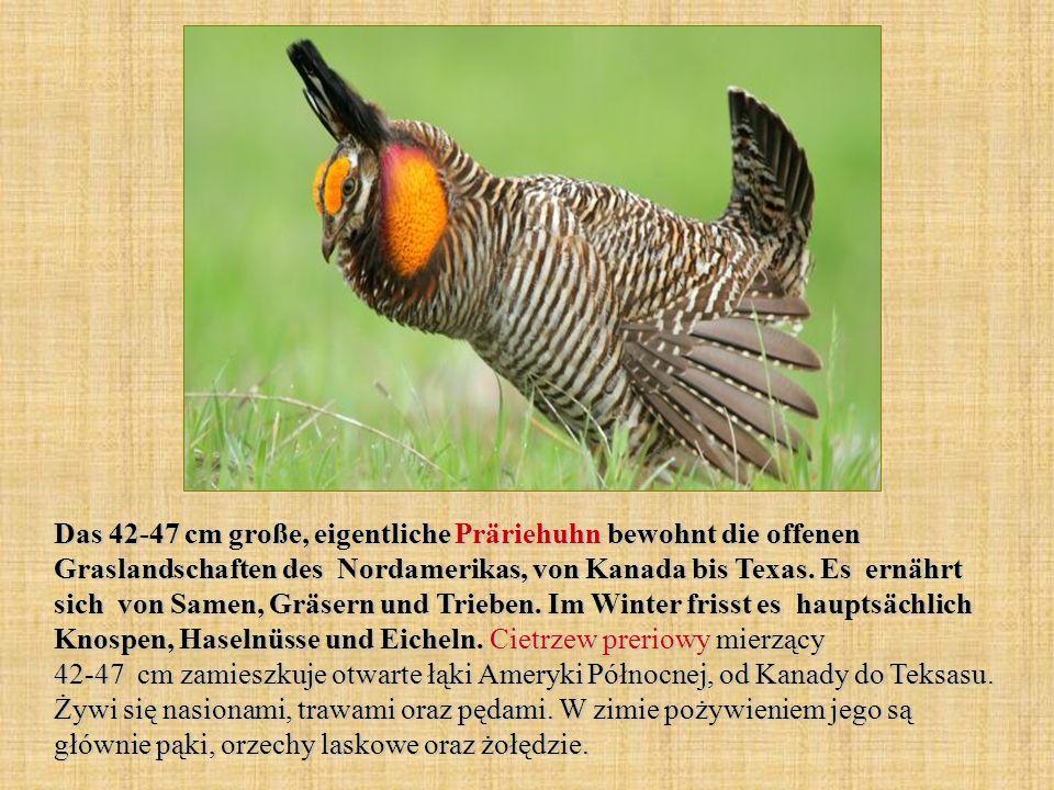 Das 42-47 cm große, eigentliche Präriehuhn bewohnt die offenen Graslandschaften des Nordamerikas, von Kanada bis Texas. Es ernährt sich von Samen, Grä