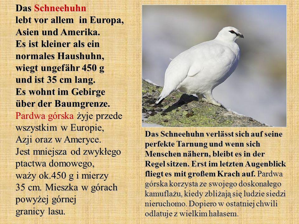 Das Schneehuhn lebt vor allem in Europa, Asien und Amerika. Es ist kleiner als ein normales Haushuhn, wiegt ungefähr 450 g und ist 35 cm lang. Es wohn