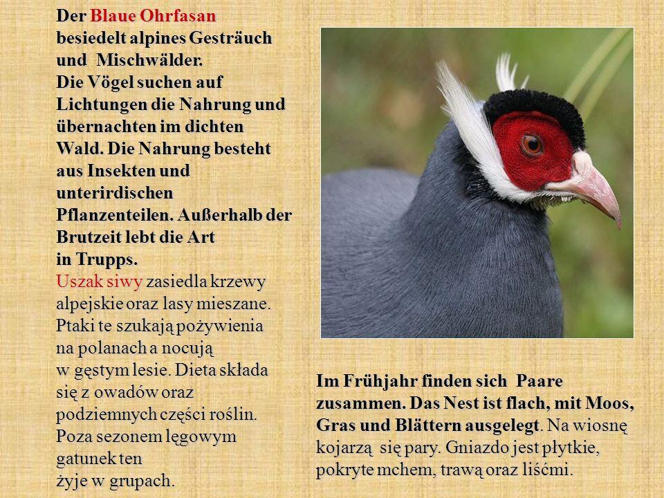 Der Blaue Ohrfasan besiedelt alpines Gesträuch und Mischwälder. Die Vögel suchen auf Lichtungen die Nahrung und übernachten im dichten Wald. Die Nahru
