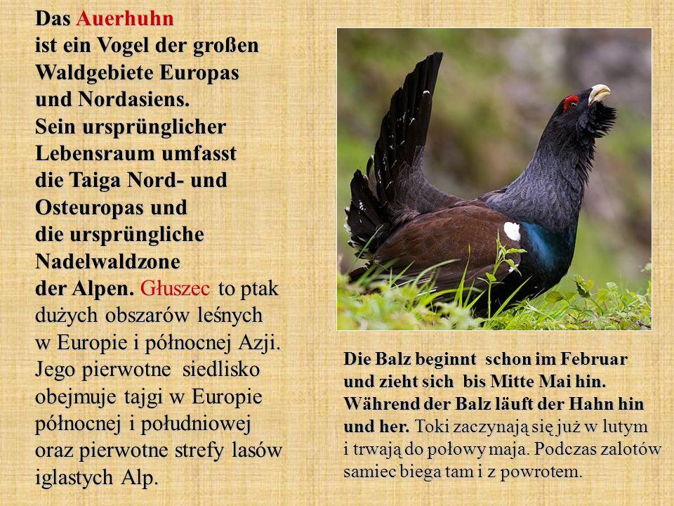 Das Auerhuhn ist ein Vogel der großen Waldgebiete Europas und Nordasiens. Sein ursprünglicher Lebensraum umfasst die Taiga Nord- und Osteuropas und di