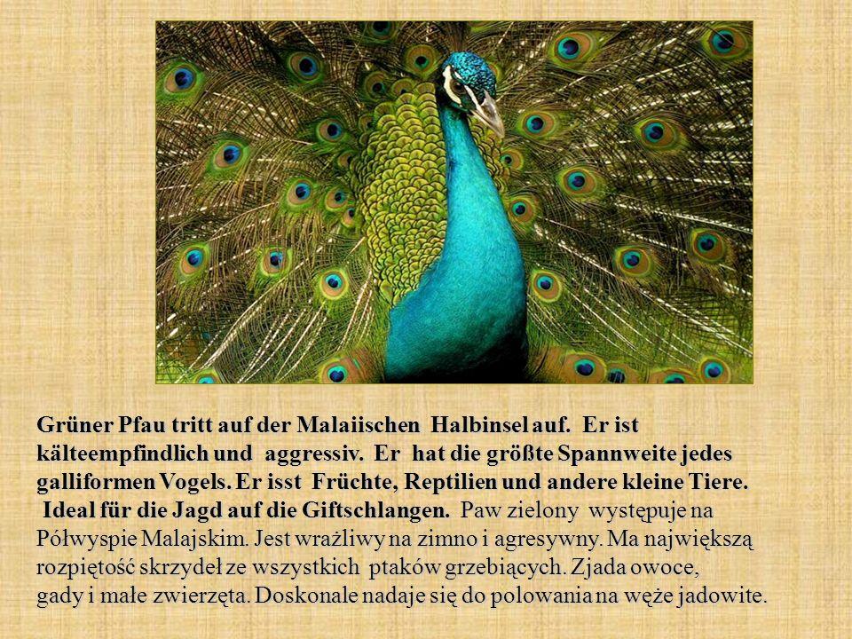 Grüner Pfau tritt auf der Malaiischen Halbinsel auf. Er ist kälteempfindlich und aggressiv. Er hat die größte Spannweite jedes galliformen Vogels. Er