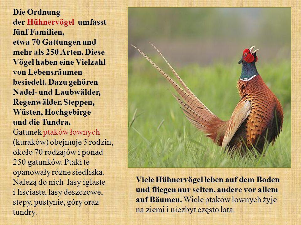 Die Ordnung der Hühnervögel umfasst fünf Familien, etwa 70 Gattungen und mehr als 250 Arten. Diese Vögel haben eine Vielzahl von Lebensräumen besiedel
