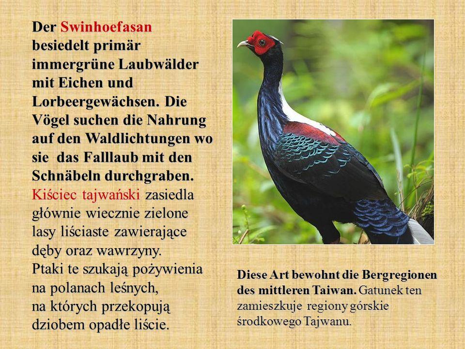 Der Swinhoefasan besiedelt primär immergrüne Laubwälder mit Eichen und Lorbeergewächsen. Die Vögel suchen die Nahrung auf den Waldlichtungen wo sie da