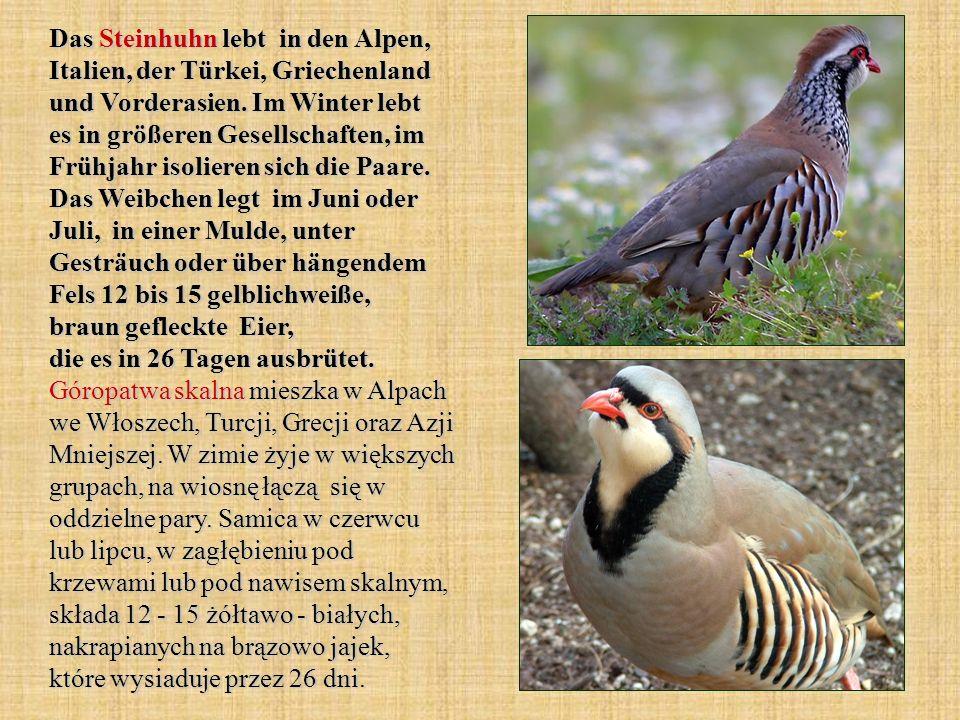 Das Steinhuhn lebt in den Alpen, Italien, der Türkei, Griechenland und Vorderasien. Im Winter lebt es in größeren Gesellschaften, im Frühjahr isoliere