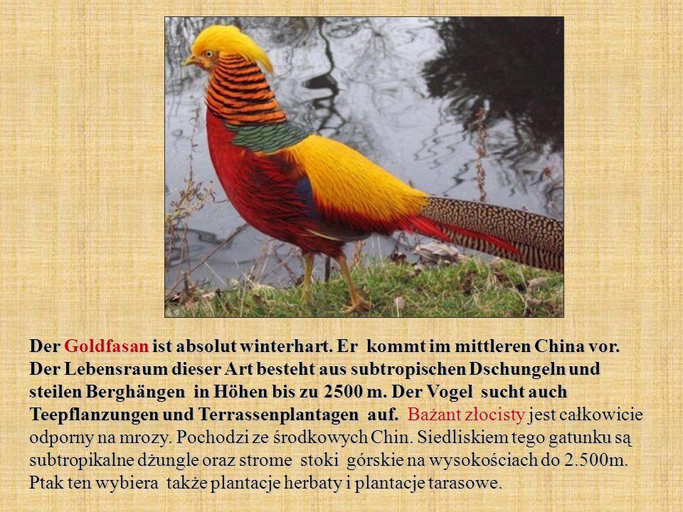 Der Goldfasan ist absolut winterhart. Er kommt im mittleren China vor. Der Lebensraum dieser Art besteht aus subtropischen Dschungeln und steilen Berg