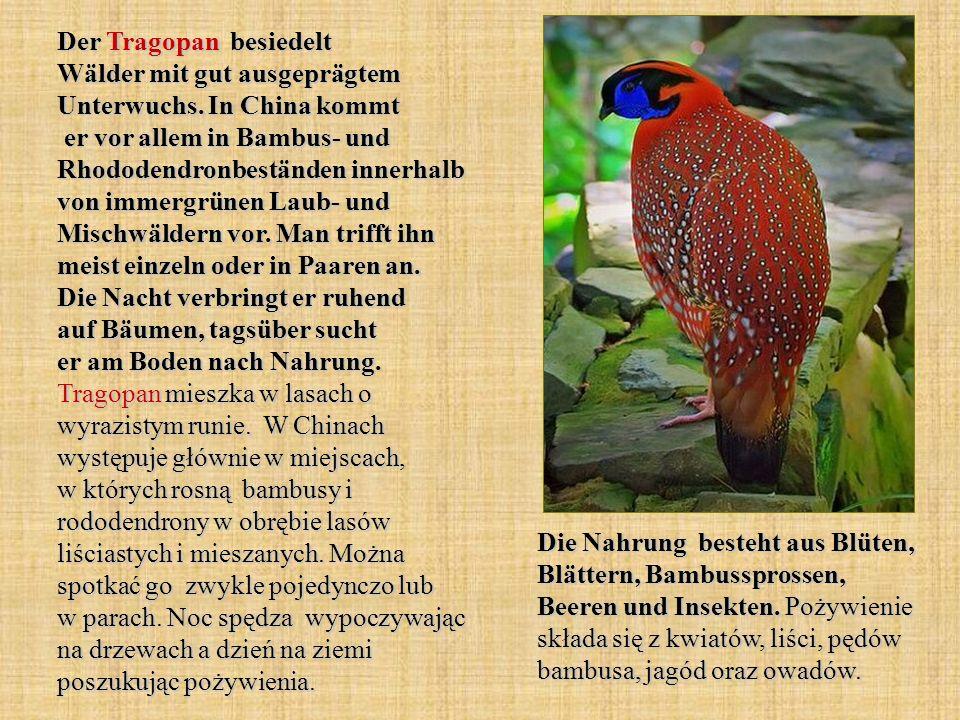 Der Tragopan besiedelt Wälder mit gut ausgeprägtem Unterwuchs. In China kommt er vor allem in Bambus- und Rhododendronbeständen innerhalb von immergrü