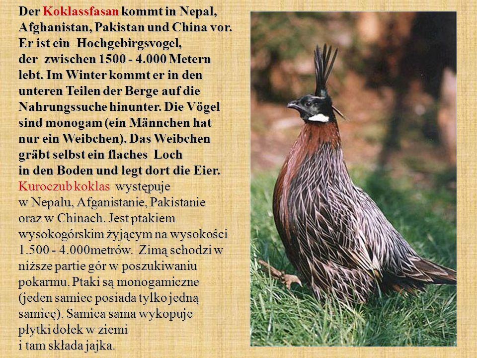 Der Koklassfasan kommt in Nepal, Afghanistan, Pakistan und China vor. Er ist ein Hochgebirgsvogel, der zwischen 1500 - 4.000 Metern lebt. Im Winter ko