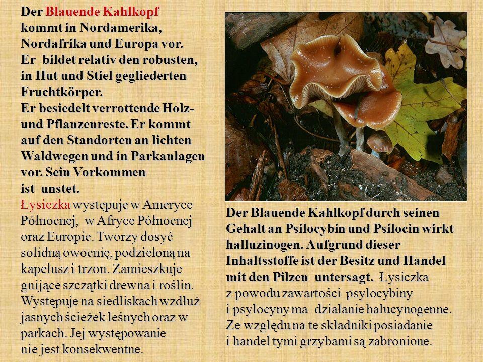 Der Blauende Kahlkopf kommt in Nordamerika, Nordafrika und Europa vor. Er bildet relativ den robusten, in Hut und Stiel gegliederten Fruchtkörper. Er