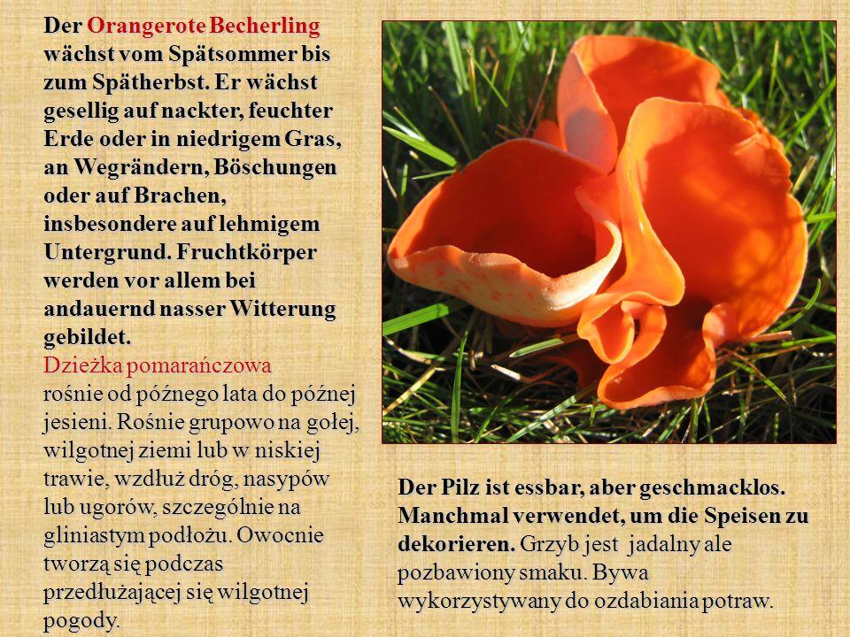 Der Orangerote Becherling wächst vom Spätsommer bis zum Spätherbst. Er wächst gesellig auf nackter, feuchter Erde oder in niedrigem Gras, an Wegränder