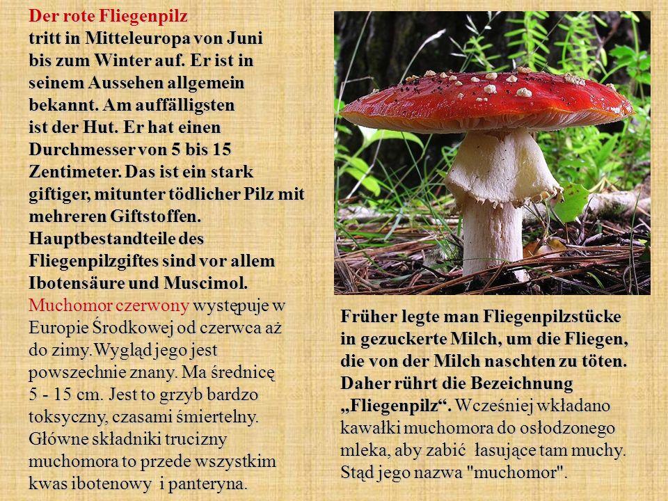 Der rote Fliegenpilz tritt in Mitteleuropa von Juni bis zum Winter auf. Er ist in seinem Aussehen allgemein bekannt. Am auffälligsten ist der Hut. Er