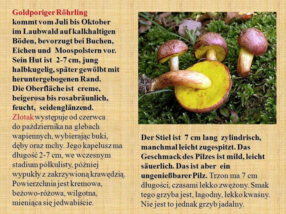 Goldporiger Röhrling kommt vom Juli bis Oktober im Laubwald auf kalkhaltigen Böden, bevorzugt bei Buchen, Eichen und Moospolstern vor. Sein Hut ist 2-