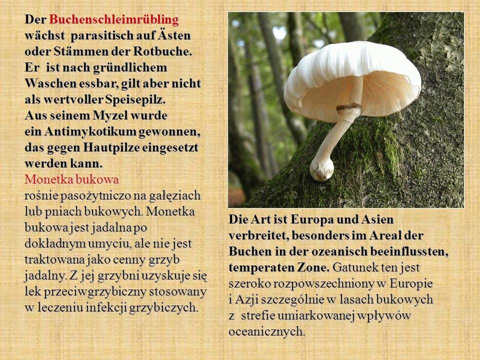 Der Buchenschleimrübling wächst parasitisch auf Ästen oder Stämmen der Rotbuche. Er ist nach gründlichem Waschen essbar, gilt aber nicht als wertvolle